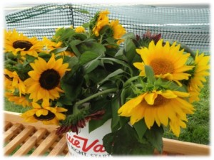 PFM Sunflowers